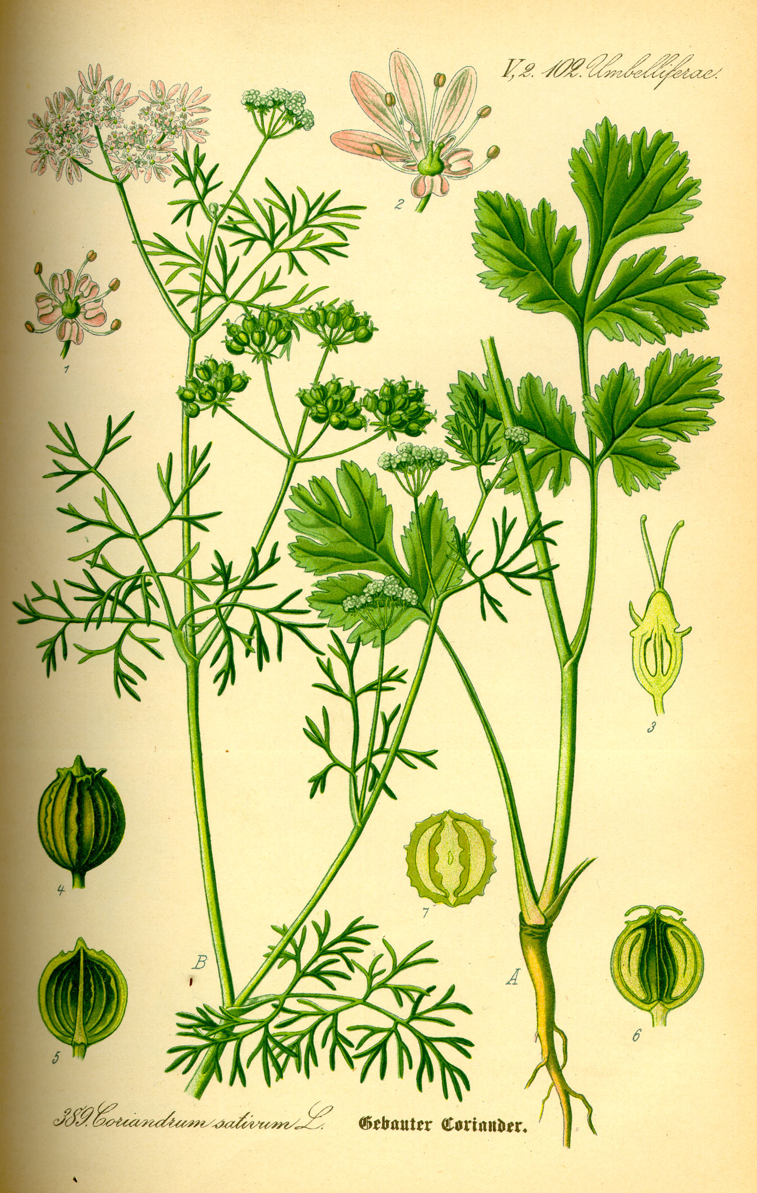 Illustration_Coriandrum_sativum0.jpg