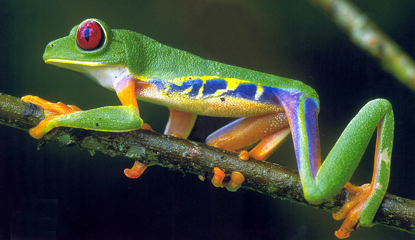 http://lounge.obviousmag.org/por_tras_do_espelho/2015/01/08/red-eyed_tree_frog_01.jpg