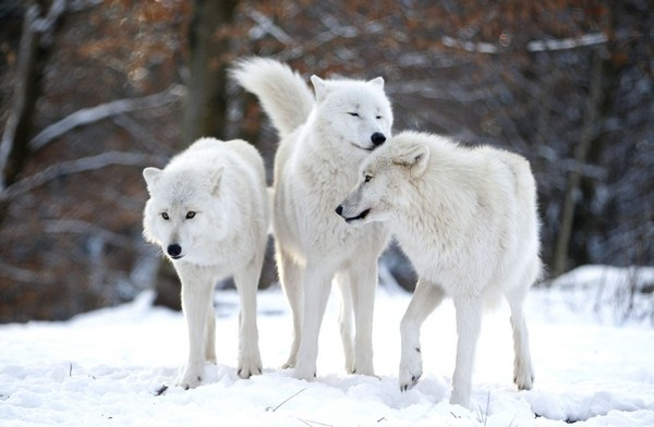 Arctic-wolves-stand-in-an-enclosure-at-Wolfspark-Werner-Freund-in-Merzig-Germany-on-January-24-2013.-ReutersLisi-Niesner-960x628.jpg