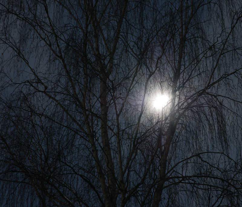 Birch_in_the_moon_light_-_Birke_im_Mondlicht_-_Betula_pendula.jpg