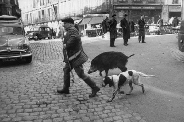 A man walks his pet dog and pet boar, US, 1955.jpg
